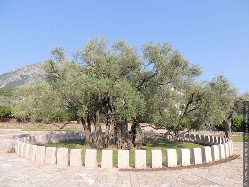 Самому старому дереву в мире более 2000 лет