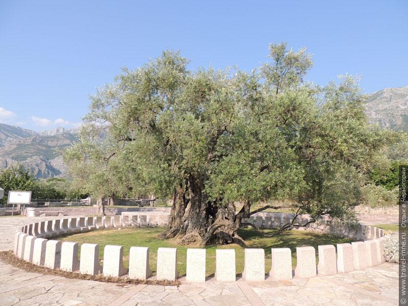 От любопытных туристов дерево ограждено небольшим заборчиком