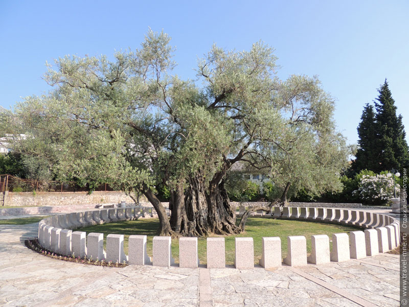 Кроме самой оливы окружающий комплекс включает небольшой парк с клумбами и деревьями